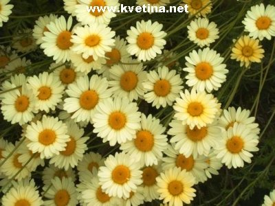 Anthemis marchalliana - Rmen