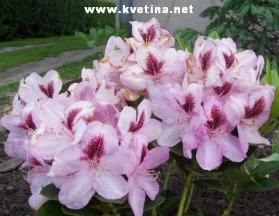 Rhododendron hybrid 'Lugano' - Rododendron, p�ni�n�k