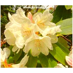 Rhododendron hybrid 'Goldfort' - Rododendron, p�ni�n�k