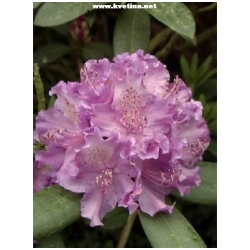 Rhododendron hybrid 'Alfred' - Rododendron, p�ni�n�k