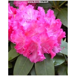 Rhododendron hybrid 'Germania' - Rododendron, p�ni�n�k