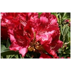 Rhododendron hybrid 'Kluis Sensation' - Rododendron, p�ni�n�k