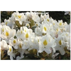 Rhododendron hybrid 'Madame Masson' - Rododendron, p�ni�n�k