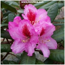 "Rhododendron hybrid ""Ornament"" - Rododendron, p�ni�n�k"