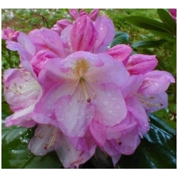 Rhododendron hybrid 'Scintilation' - Rododendron, p�ni�n�k