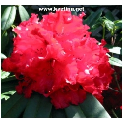 Rhododendron hybrid 'Bengal' - Rododendron, p�ni�n�k